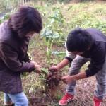 サトイモ@てんてん農園